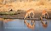 Black-faced Impala drink at Nuamses