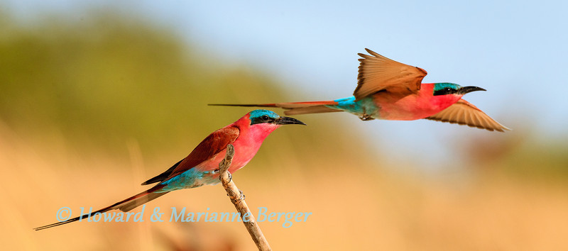 "Carmine Bee-eater (Merops nubicoides), start to catch insects.  Kalizo Lodge, Caprivi strip, Namibia, Biology Note:- For hours the birds demonstrated ""hawking"" as they launched them selves to flash past us to catch flying insects"