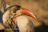 Portrait of red-billed hornbill