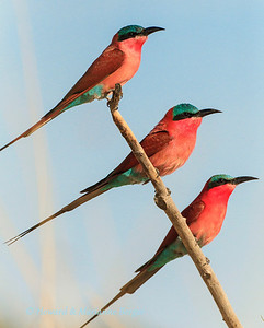 "Southern Carmine Bee-eater (Merops nubicoides), warm up at sunrise. Kalizo Lodge, Caprivi strip, Namibia, Biology Note:- Their diet is made up of flying insects & especially bees., Their major hunting strategy ""hawking"" (catching insects on the wing) was demonstrated by this trio as they launched themselved from this favoured perch to catch their next meal."