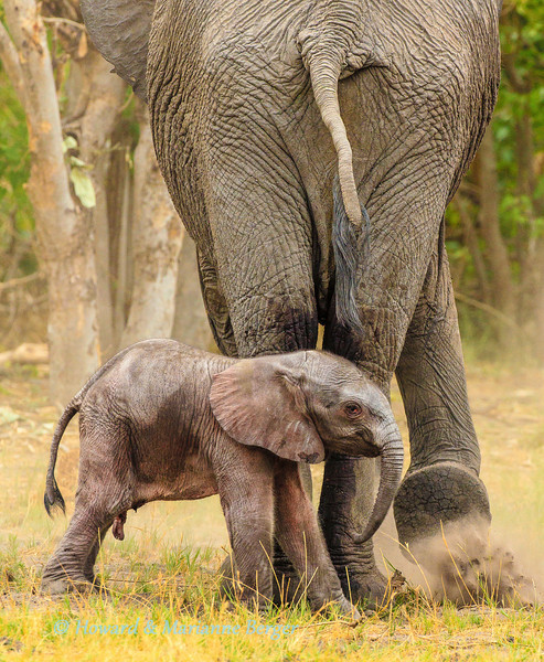 A newborn elephant calf,  (Loxodonta africana)  gets a drying dust bath from its mother. Motsipi island, Savuti National Park, Botswana
