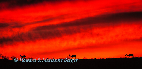 At sunrise  a herd of springbok are silhouettted as they drift slowly over the calcrete ridge of the dry Nossob river near Rooiputs camp. Kgalagadi transfrontier park, South Africa.