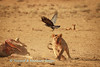A young lion  (Panthera leo), chases away a Black Crow  (Corvus capensis), who wanted to scavenge from a recently killed eland (Taurotragus oryx). Kij Kij waterhole, Kgalagadi transfrontier park, South Africa