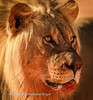 Portrait of a magnificent lion  (Panthera leo) at  Kij Kij waterhole,  Kgalagadi transfrontier park,South Africa