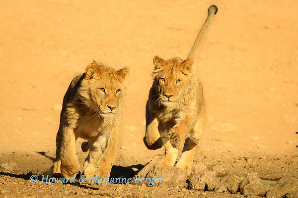 Young male lions  (Panthera leo), chase each other at Kij Kij waterhole, Kgalagadi transfrontier park,,  South Africa