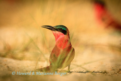 carmine bee-eater surveys his colony along the Zambesi river, Kalizo Lodge, Caprivi strip, Namibia Biology Note:-They prefer vertical river  banks for horizontal tunneling when breeding, but as demonstrated by this group along the Zambesi they can readily dig vertical burrows in level surfaces with the nest of 2-5 eggs at the end of a 1-2m long burrow.