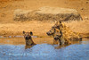 members of a clan of spotted hyena (Crocuta crocuta) bathe at Chudop Waterhole, Etosha National Park, Namibia.