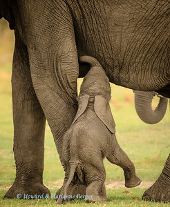 Elephant (Loxodonta africana) calf struggles up onto his back legs to  reach his mother's breast,  Nambwa camp, Caprivi strip, Namibia.
