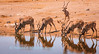 Greater Kudu (Tragelaphus s. strepsiceros) bulls, gathered at Chudop Waterhole to drink. Etosha National Park, Namibia