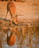 In the early morning light a beautiful Steenbok (Raphicerus campestris) drinks at Kalkheuvel waterhole, Etosha National Park,  Namibia. Biology Note: Are solitary antelope except when courting or have a lamb. The females (this photograph) do not have horns. They are teritorial & mak their areas with scent from preorbital & pedal (between their hooves)  glands.