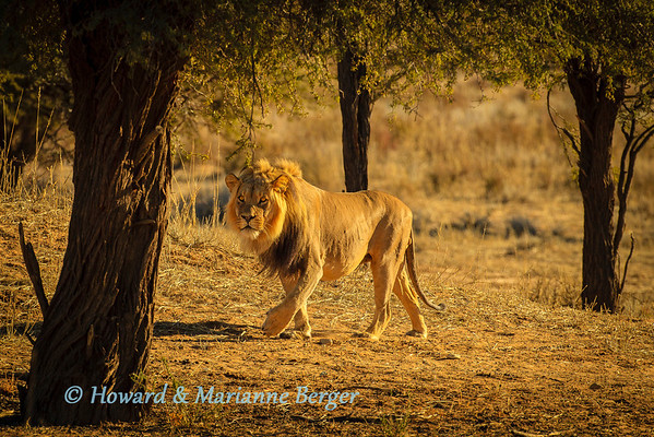 At  sunrise a black maned Lion  (Panthera leo) patrols along the dry  Nossob river bed, Kgalagadi transfrontier park, , South Africa,