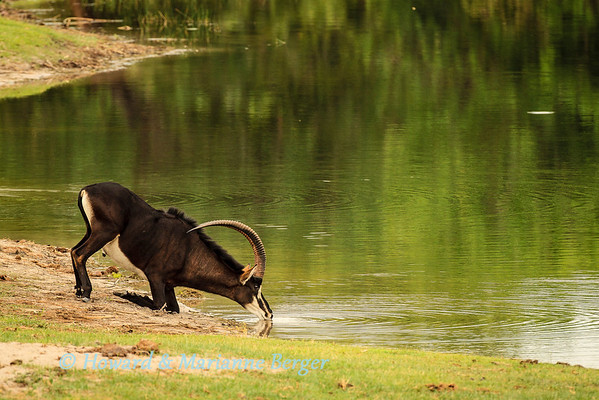 A beautiful bull sable antelope (Hippotragus niger) drinks at horseshoe bend near Nambwa camp. Caprivi strip, Namibia, Biology Note:- the bulls are black & cows vary from chestnut to brown. They inhabit woodland &/or grassland as browsers/grazers. Needs to drink at least every second day.