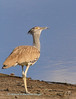 Kori Bustard scans the sky