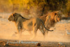 Lions  (Panthera leo) survey Chudop Waterhole at sunrise, Etosha National Park, Namibia.