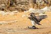 Martial eagle (Polemaetus bellicosus) strikes down pn  a Helmeted Guinea fowl (Numida meleagris), \kalkheuvel waterhole,  Etosha National Park, Namibia