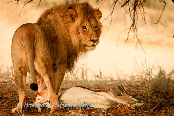 In the early morning, near Rooiputs camp in Kgalagadi transfrontier park in South Africa, a large lion  (Panthera leo) guards the carcass of his springbok (Antidorcas marsupialis)