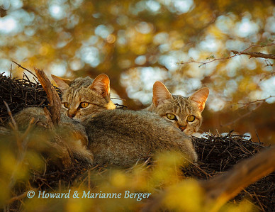 African wildcat (Felis lybica), rests in an Acacia tree with her almost independant kitten. Kij Kij waterhole, Kgalagadi transfrontier park, South Africa