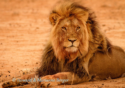 A massive black maned lion  (Panthera leo), rests near Kij Kij waterhole. Blood stains from a recent eland kill can be seen on his mane & paws. Kgalagadi transfrontier park, South Africa