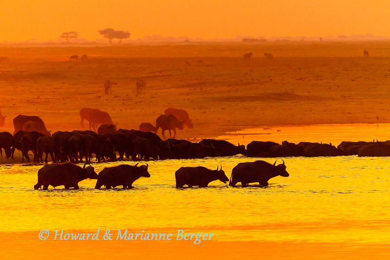 At sunset Cape buffalo (Syncerus caffer caffer) cross over the river into Namibia. Chobe National Park, Botswana,