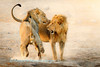 In the very early morning two lions (Panthera leo) play fight at Chudop Waterhole, Etosha National Park,  Namibia.
