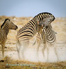 Zebra stallions (Equus quagga burchellii) continue their fierce joust near Salvadora waterhole, Etosha National Park, Namibia.