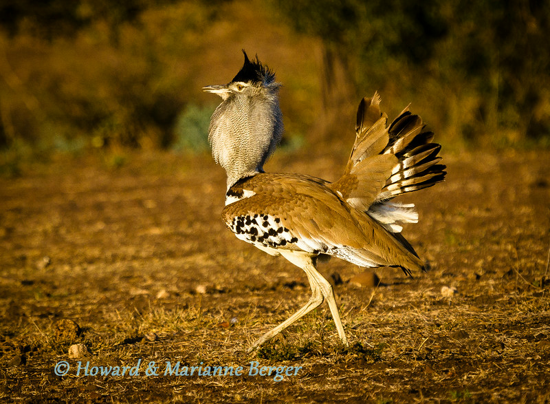 Kori Bustard displays