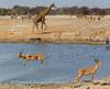 Jumpy impala