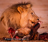 At sunrise a lion  (Panthera leo) finishes off the last remnants of  the  Red Hartebeest (Alcelaphus caama) he had killed at Rooiputs waterhole, Kgalagadi Transfrontier Park, South Africa,