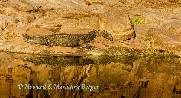 Basking crocodiles