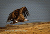 Hooded vulture takes off