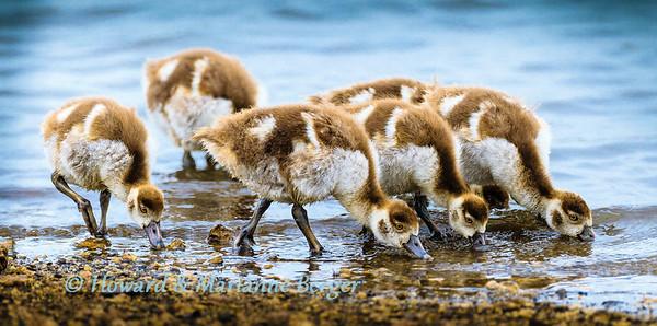 Gobbling goslings