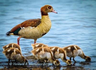 Egyptian goose stands on alert as her goslings feed. Kruger national park