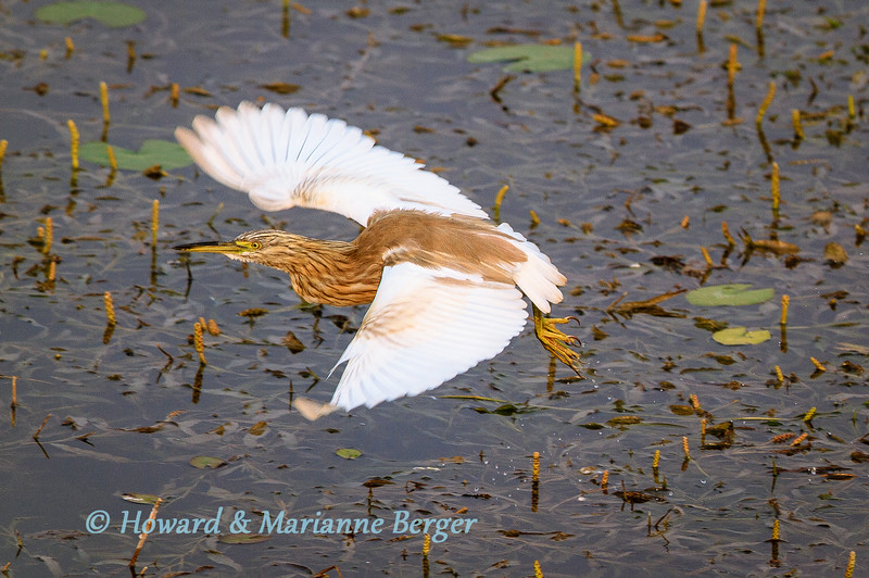 Squacco Heron flight