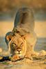 Thirsty lion at sunrise