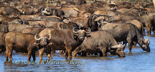 Thirsty herd of buffalo