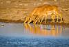 Blackfaced Impala (Aepyceros melampus petersi) drink at sunset at Chudop Waterhole, Etosha National Park, Namibia