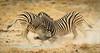 Jousting zebra stallions