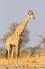 Giraffe (Giraffa camelopardalis) approaches Makwa pan to drink, Hwange National Park, Zimbabwe
