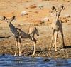 Kudu calves on alert