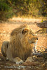 Lion at Shingwedzi