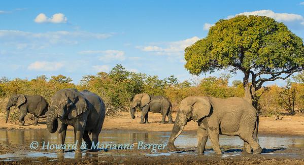 Elephant bulls drinking