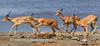 Impi of impala