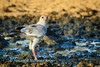 At sunrise a Pale Chanting Goshawk (Melierax canorus) drinks at Polentswa water hole, Kgalagadi transfrontier park, South Africa,