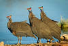 helmeted guinea fowl drinking