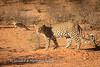 Leopard raid