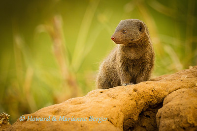 Dwarf Mongoose (Helogale parvula),  on alert at his den. Kruger National Park, South Africa. They breed during the wet season, between October and April, raising up to 3 litters. Usually only the group's dominant female becomes pregnant, and she is responsible for 80% of the pups reared by the group. If conditions are good, subordinate females may also become pregnant, but their pups rarely survive. After the gestation period of 53 days, 4-6 young are born. They remain below ground within a termite mound for the first 2-3 weeks. Normally one or more members of the group stay behind to babysit while the group goes foraging. Subordinate females often produce milk to feed the dominant female's pups. At 4 weeks of age the pups begin accompanying the group. All group members help to provide them with prey items until they are around 10 weeks old.   Reference: http://en.wikipedia.org/wiki/Common_dwarf_mongoose