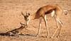 Newborn springbok
