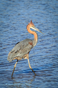 Goliath heron fishes