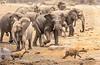 Herd of elephant (Loxodonta africana) chase of spotted Hyena (crocuta crocuta) from Chudop Waterhole, Etosha National Park,  Namibia