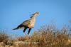 Secretary bird goes for a stroll